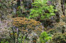 从玛娜茶金下来,经过一道峡谷,这里是往木里西部水洛乡的通道,悬崖峭壁上,高山杜鹃玉树临风,凌空绽放,
