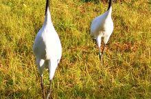 """跟着我的鏡头,来钏路"""" 丹顶鹤自然公园  """",一起尋找""""丹顶鹤""""!"""