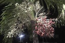 没有长大的小椰子。晚上将巴拿马城走马观花转了一圈,偶然发现,朋友告知是待长大的椰子。