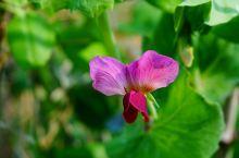 美丽妖娆的豌豆花