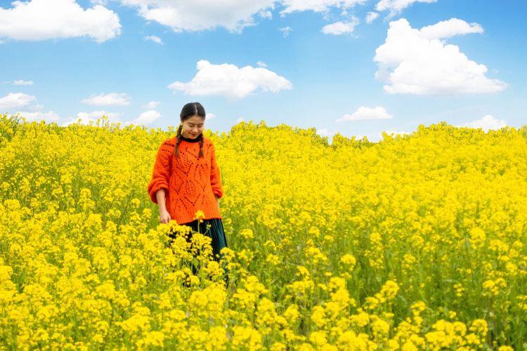 Hanzhong Canola Fields4