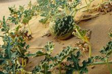 沙漠中的毒西瓜!