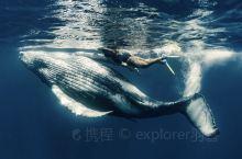 在汤加与30吨的座头鲸同游 汤加的瓦瓦尤岛,生态环境出众,海洋资源丰富,是座头鲸的天堂。每年的7-1