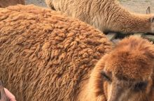 新西兰罗托鲁瓦农庄看羊驼
