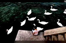 苏黎士的天鹅