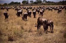 九月份居然还能看到世纪之迁——马拉河之渡! 肯尼亚和坦桑尼亚交界的马赛马拉河一年一度的百万角马大迁徙