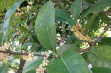国庆长假就是金桂飘香的季节,空气中浓浓的桂花香