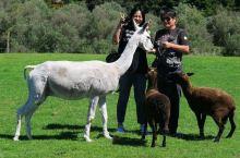 新西兰 羊驼不怕人