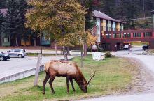 【动物天堂】 加拿大洛基山脉开放游览至今,没有因此而破坏了大自然,相反使野生动物更接近人类,这是因为