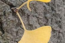银杏,别称:公孙树,中国特有物种。据统计,在中国5000年以上的银杏树大约有12棵,其中贵州省就占9