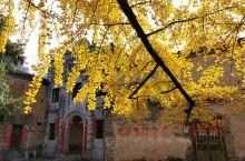 桂林海洋村银杏树