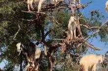 新疆本地的羊,为什么好吃你看图一