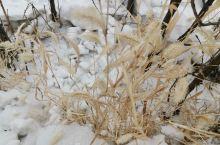冬天的狗尾巴草也好美呀。