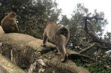 直布罗陀的猴子