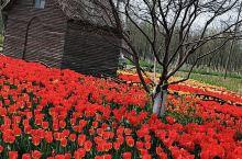 泗洪白鹭保护区  满园郁金香花开了,牡丹也开了,满园春色,景色迷人。值得一去。到了夏天,千荷园各种品