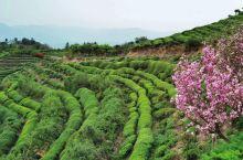 四明山茶园花海徒步,浸淫在弥漫的茶香里。