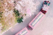 郑州五千亩樱花园|就连口罩也挡不住的花香!还能还能滑沙蹦极!  郑州向西一小时车程,古柏渡飞黄旅游区