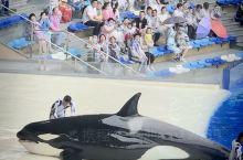 海昌的虎鲸