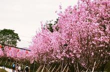 从化天適樱花悠乐园在从化西和村,占地1000亩,离广州約一小時車程。这兒有数万株樱花,每年的2至3月