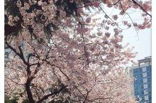 好美呀!第一次这么近距离的接触樱花,第一次看到如此多的樱花树。
