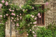 人间四月芳菲尽,荡口蔷薇始盛开。清晨的无锡荡口古镇,弥漫着一股淡淡的花香。枕河屋下,花开窗前,这个时