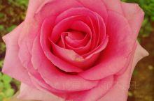 云南的玫瑰花海还是值得一观的