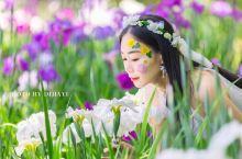 无锡  太湖  鼋头渚 ,不仅仅有春天里醉美的樱花,还有这个初夏中体现浓浓爱意的花菖蒲。如鸢似蝶、蓝