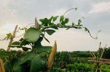 美丽乡村,蔬菜盛宴(2)