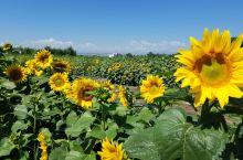 今天去看向日葵。。