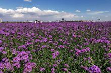 包头城中草原 出差路过拍摄  薰衣草