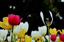 2019年4月15日,从法源寺出来,坐公交到了中山公园。午后喷淋大放,水珠弥漫,郁金香绚丽多姿,如彩