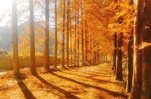 福建三明市将乐县龙栖山自然保护区的古水杉红了,带给你专属于初冬的金黄浪漫~
