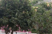 这是第二次看见桂花树。真的好香好香