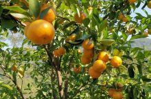 砂糖橘丰收 大业镇胜垌村岭脚片   岑溪·梧州