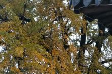 满地黄金,百年银树