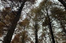 美美的余姚四明湖红杉林