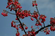 《来自富川的诱惑:红早樱已经含苞待放……》  我是孤独浪子,希望我的拍拍让您有所收获。 漫游神州31