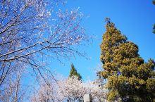 中山公园桃花开