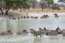 塔兰吉雷国家公园是坦桑尼亚一处非常著名的野生动物保护区。这里有茂密的森林和沼泽,生活着数以千计的动物