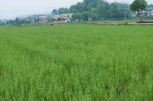 农民开始种植水稻,金秋时节就能在悠然农庄吃上香喷喷的自家香米了!