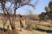 Lion park~感受真正的非洲大草原
