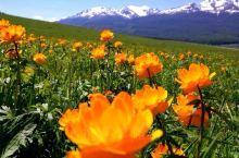 金莲花盛开