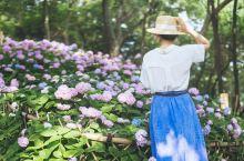在无锡遇见依山傍寺的绝美绣球花海  从前年去鼋头渚看樱花逛了锡惠公园就特别喜欢这里,最近发现公园里的
