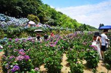 六月竹子湖正是繡球花開季節哦
