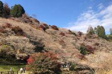 从香岚溪看完红叶坐小巴士前往小原四季樱花盛开的地方,下车就看到类似春天的看满山坡上的樱花,其中夹杂着