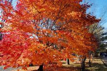 十胜川温泉  在,我们即将离开,十勝川温泉酒店时,在酒店停车场,意外发现,一棵很美的,深秋雨后枫叶树