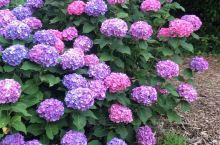 日本名古屋大高绿地紫阳花有没有震撼到你