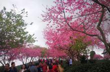 好美的樱花,出游心情美美的。