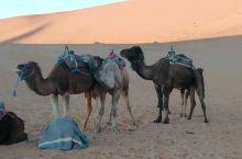 蹭痒痒的骆驼 带我们进出撒哈拉的骆驼睡了一晚上,早上起来舒坦舒坦——老兄,借我蹭蹭呗~