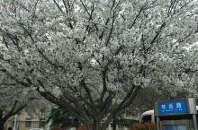 濮大一日游,樱花